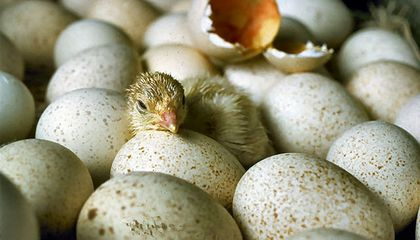 How Do Tiny Chicks Crack Out of Their Eggs?