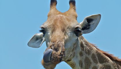 How a Tiny Worm is Irritating the Most Majestic of Giraffes