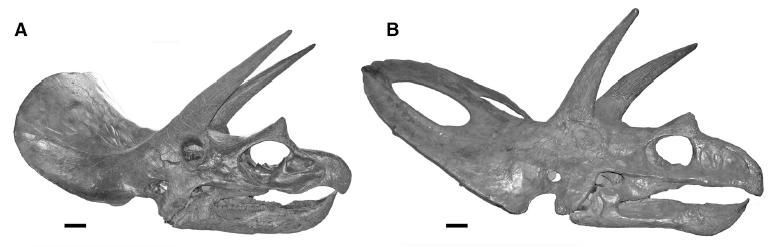 Skulls of a juvenile and adult triceratops.