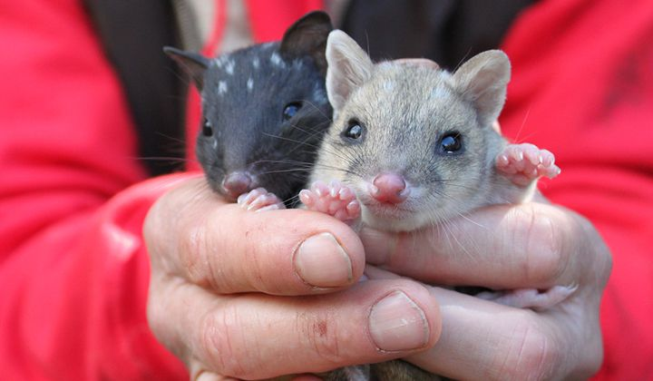 The Super-cute Eastern Quoll Returns to Australia