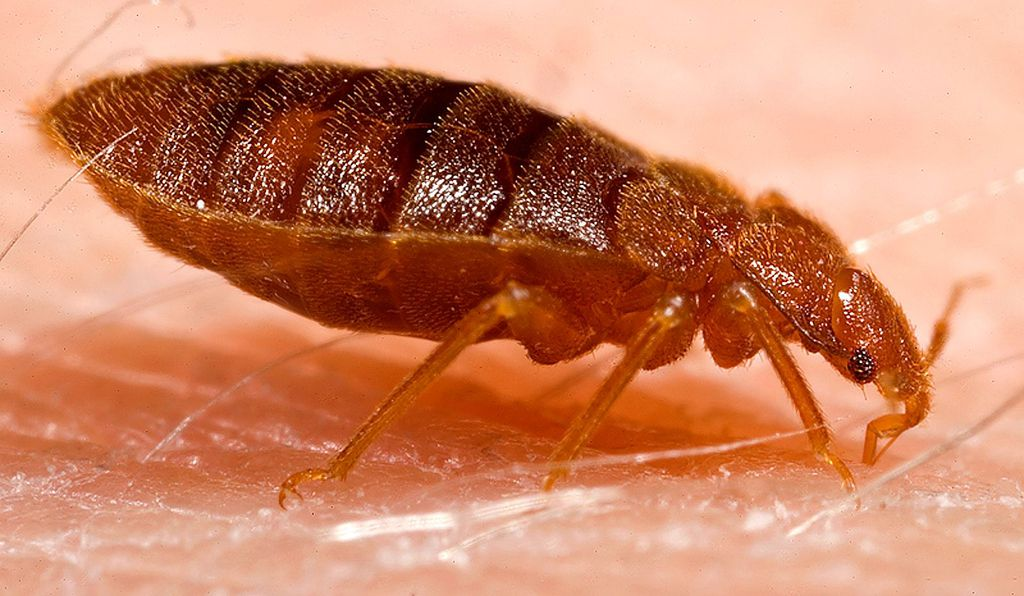 Bed bugs stab their partner during copulation.