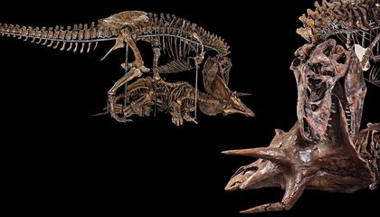 Why Curators Killed Hatcher, the 66-Million-Year-Old Triceratops
