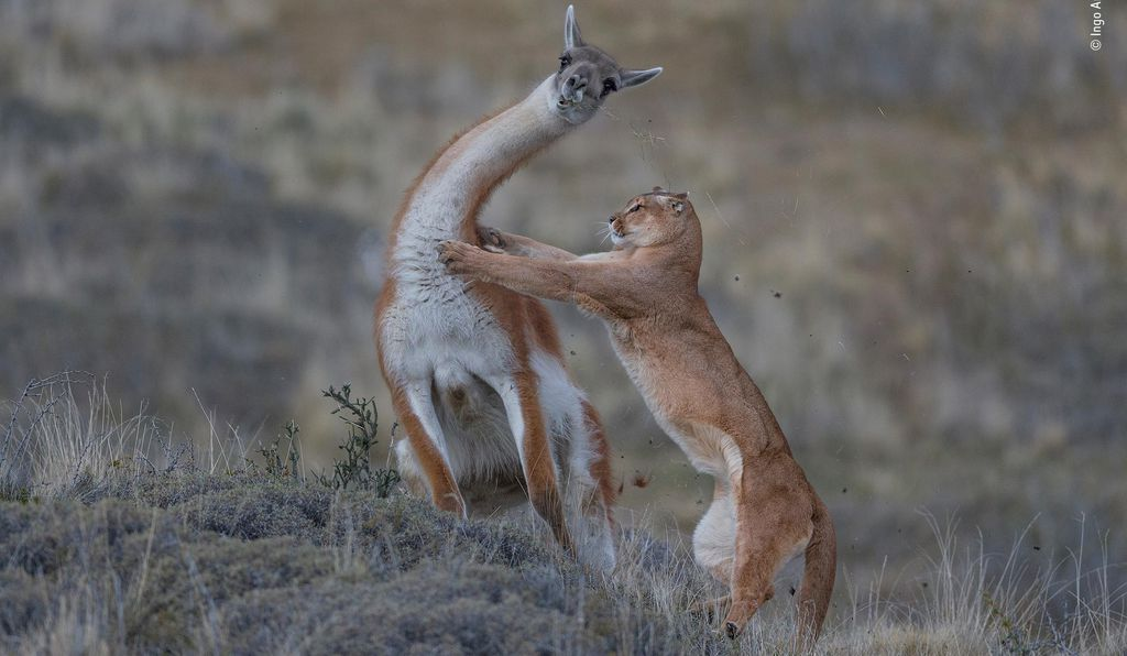 In the Torres del Paine region of Patagonia, Chile, a puma snags a guanaco. German photographer Ingo Arndt had spied the puma earlier, and the two had become comfortable with each other throughout the day. Arndt had the assistance of two trackers armed with binoculars and radio to keep the puma in sight. The puma spent 30 minutes creeping up on its prey before launching the attack.