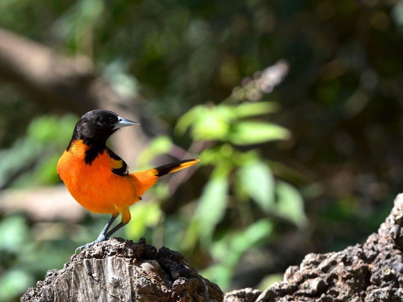 Baltimore oriole.jpeg