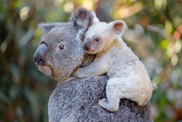Australian zoo asks for help naming rare white koala