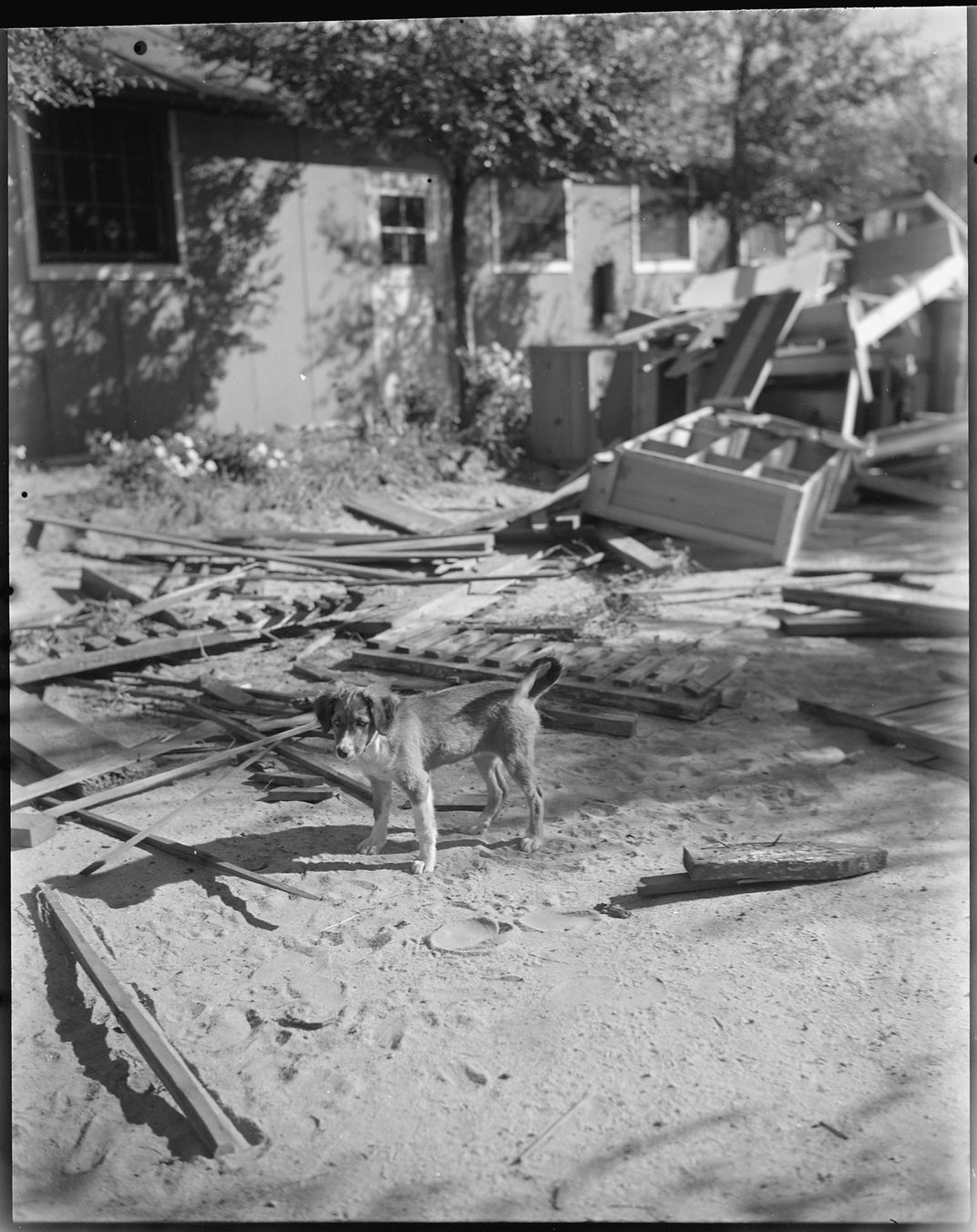 A black and white photo shows a medium size dog standing on a pile of scrap lumber