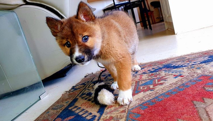 Lost Puppy Found in Australia Is Actually Rare Dingo, DNA Test Shows