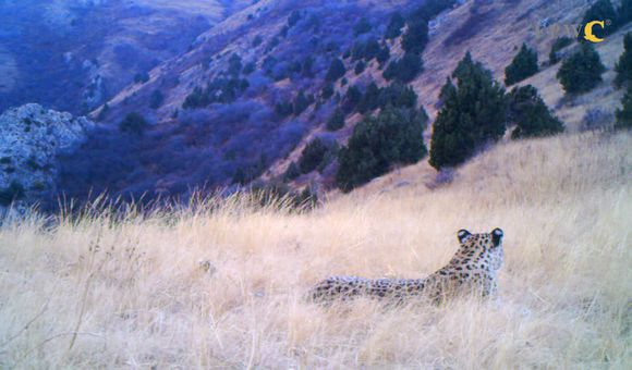 Preview thumbnail for video'Caucasian Leopard in the Caucasus Wildlife Refuge