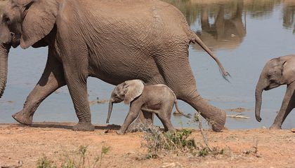 New Forensics Tool for Catching Elephant Poachers
