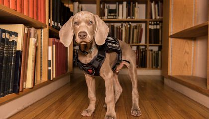 Meet Riley, the Puppy Training to Sniff Out Bugs in Boston's Museum of Fine Arts
