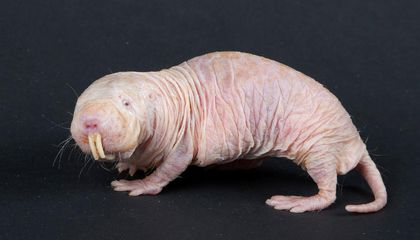 How Eating Poop Makes These Mole-Rats More Motherly