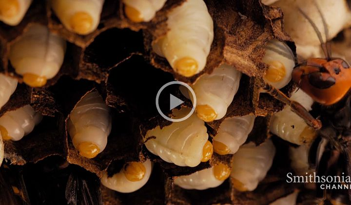 The Extraordinary Life Cycle of a Hornet Colony