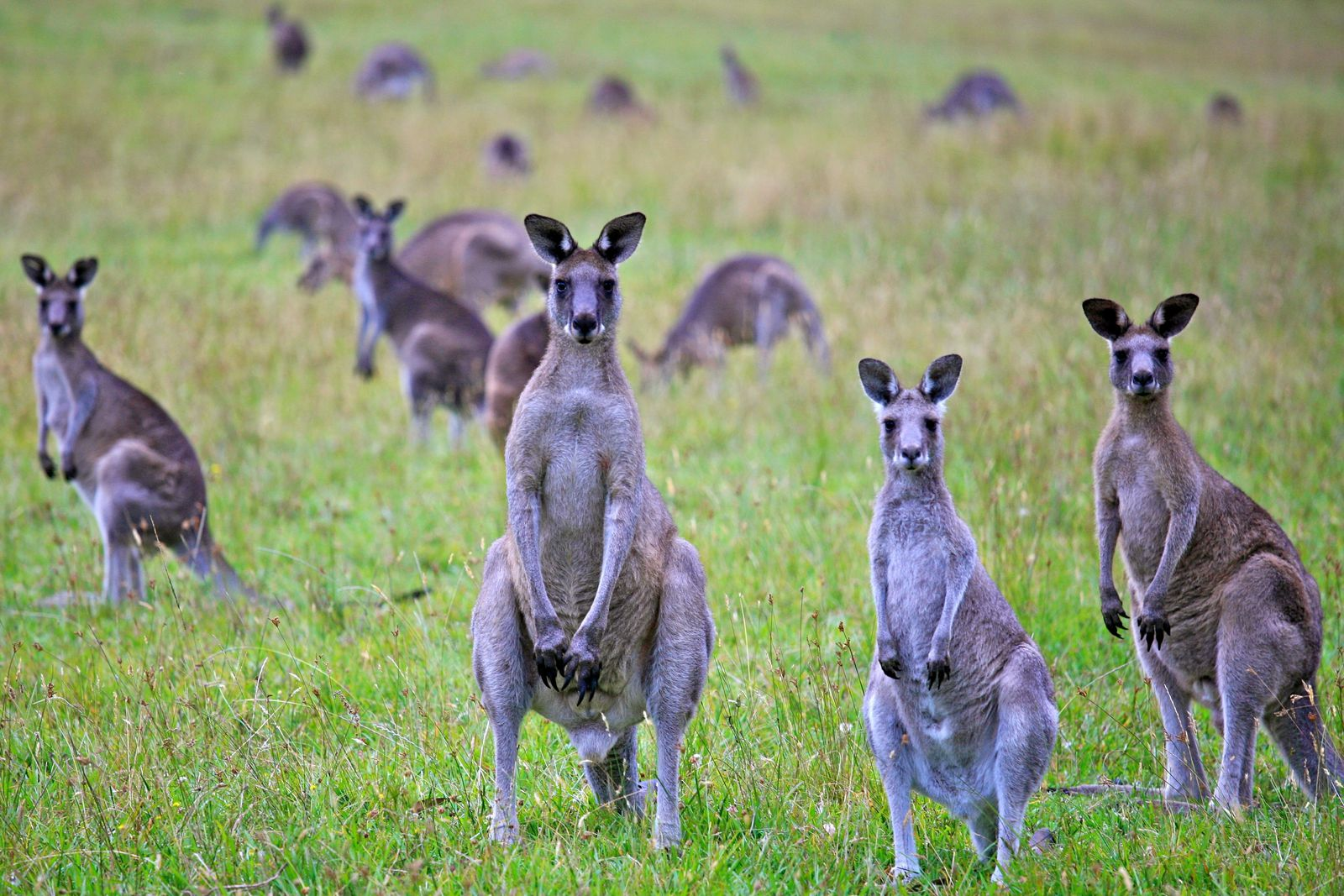 To Save Australia's Ecosystem, Ecologists Say Eat Kangaroos | Smart News |  Smithsonian Magazine