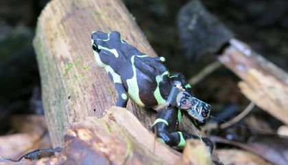 Released Limosa Harlequin frog with radio transmitter. Courtesy Blake Klocke