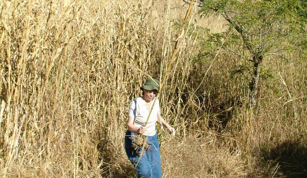 Under past environmental conditions, Piperno (carrying modern teosinte) and her colleagues say the Pleistocene-era ancestor of the plant looked far different than it does today and more closely resembled modern-day corn.