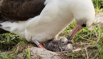 Oldest Known Wild Bird Hatches Chick at Age 70