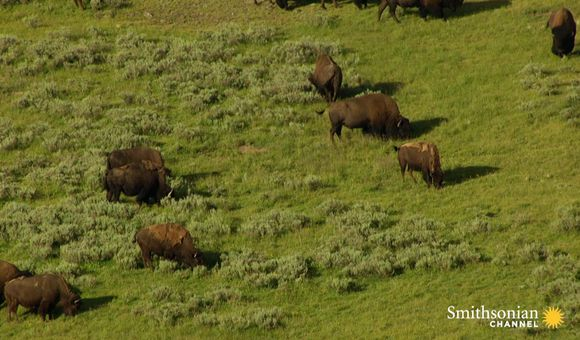 Preview thumbnail for video'How 60 Million Bison Became 1,000 in a Century