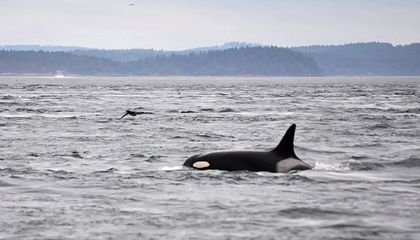 World's Oldest-Known Orca Is Missing and Believed Dead