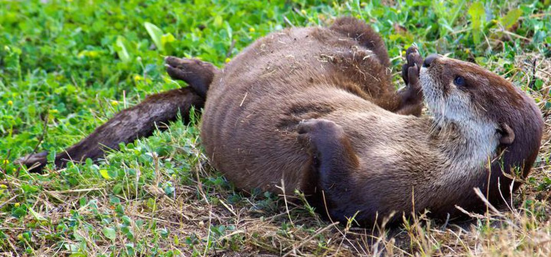 Caption: River Otters Take 'Party Pooping' to a New Level