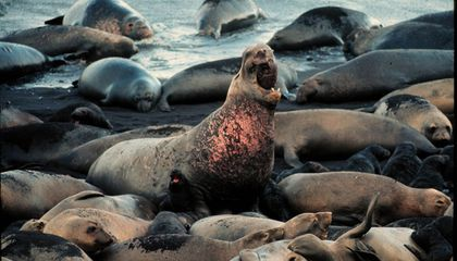 Select Elephant Seal 'Supermoms' Produce Most Pups
