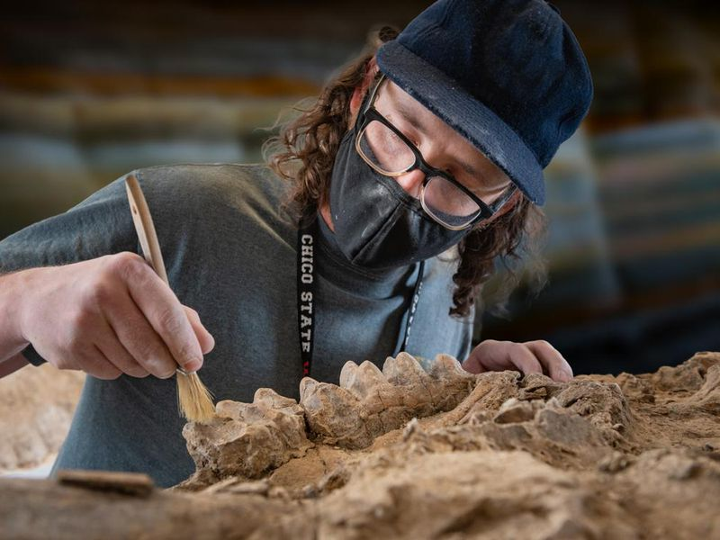 A photograph of a person holding a brush to a fossilized jaw of a mastodon. The person is wearing a mask, black glasses and a navy baseball hat.