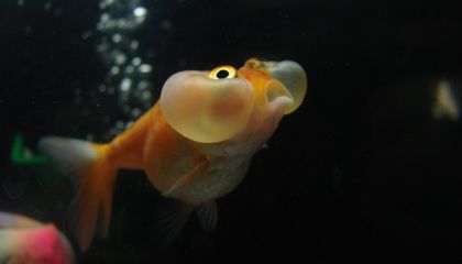How Do Goldfish Survive Winter? They Make Alcohol
