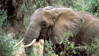 87 Elephants Found Dead Near Botswana Sanctuary