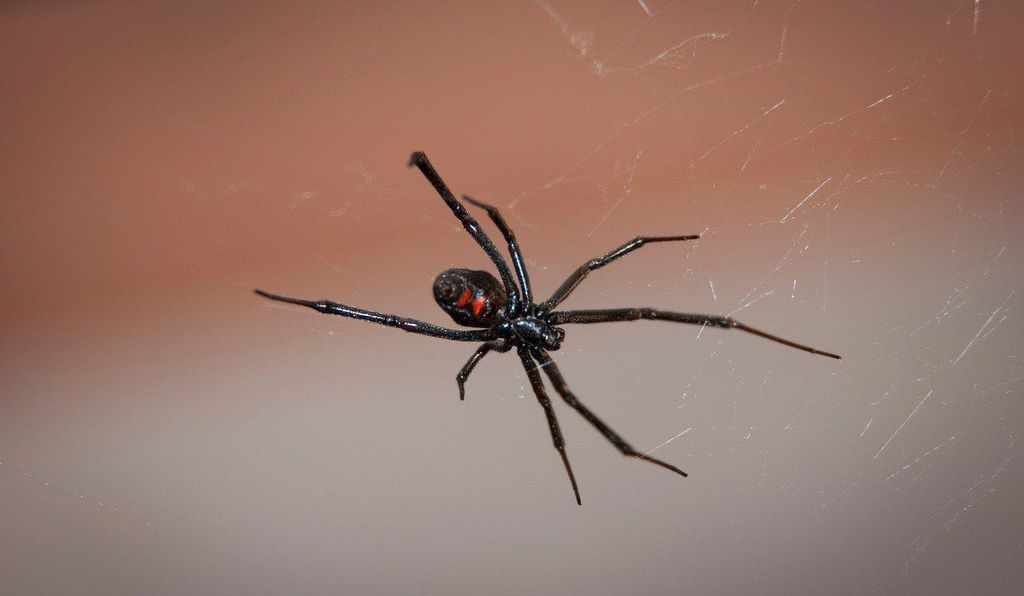 The distinct markings on a black widow's abdomen serve as a warning signal to predators.