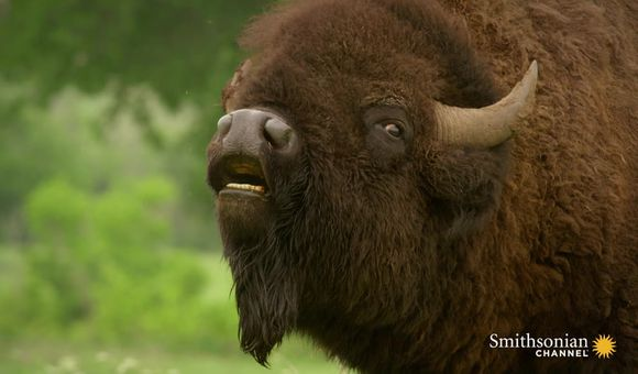 Preview thumbnail for video'As the American Buffalo Declined, Its Symbolism Rose
