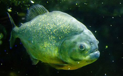 If you call someone a piranha, first make sure you've got the right fish