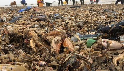 Tens of Thousands of Sea Creatures Wash Up on UK Shores Following Freezing Weather