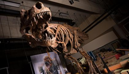 Meet Scotty, the Largest and Longest-Lived T. Rex Ever Found