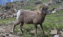 Bighorn Sheep and Moose Learn Migration Then Pass Knowledge on to Next Generation