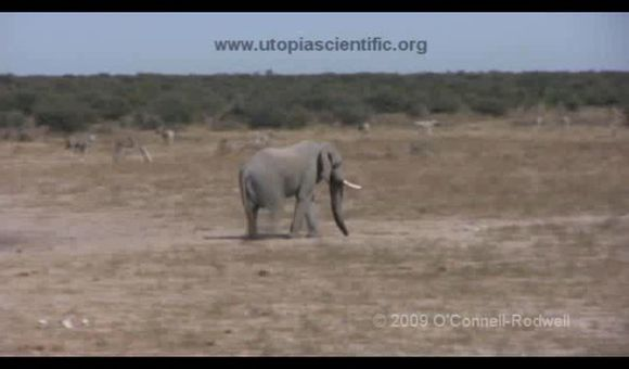 Preview thumbnail for video'Elephants Keeping Their Ears to the Ground