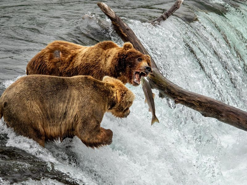 Two grizzlys on top of the brooks falls in Katmai National Park. One of them managed to catch a salmon while the other was constantly missing and getting frustrated.