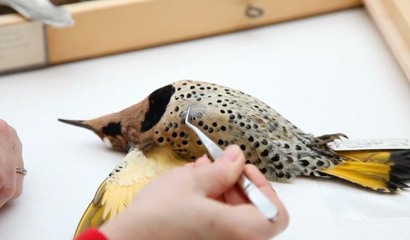 Preview thumbnail for video'How to Identify a Bird From a Single Feather