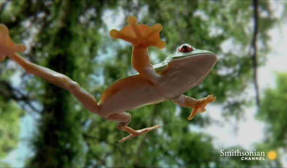 Preview thumbnail for video'Tree Frog Effortlessly Skydives Away from Hungry Snake