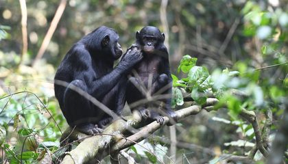 Bonobo Mothers Interfere in Their Sons' Monkey Business