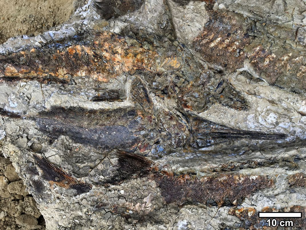 Multiple Fish Fossils