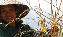 Worker in rice field