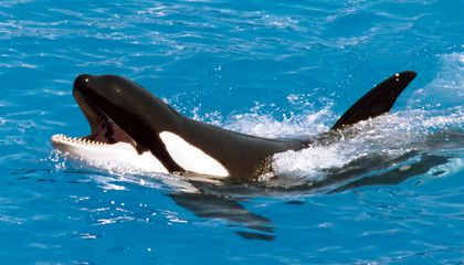 Whale Talk Pretty One Day: Listen to an Orca Mimic Human Words