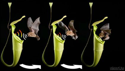 This Plant Calls to Bats So They Will Poop in it
