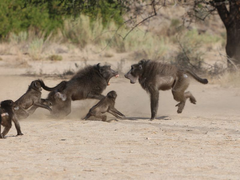 Baboons fighting
