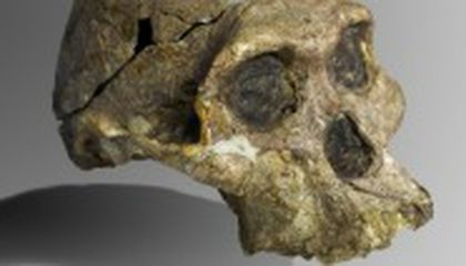 Mrs. Ples: A Hominid with an Identity Crisis
