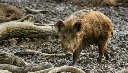 Feral Pigs Release 1.1 Million Cars-Worth of Planet-Warming Carbon Dioxide Every Year