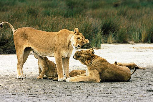 The truth about lions science smithsonian male invaders will kill a prides cubs and females that band together have a better chance of saving offspring anup and manoj shah shahimages m4hsunfo