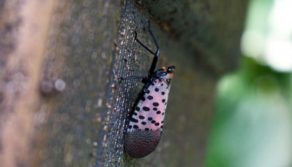 Invasive Spotted Lanternflies Reach Eight New Jersey Counties