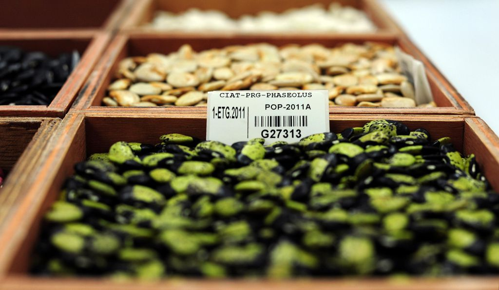 Beans at the CIAT gene bank in Colombia.