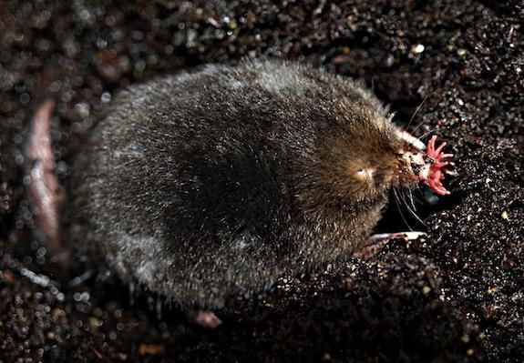 A star-nosed mole searches for prey with its star.