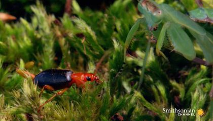 Watch a Bombardier Beetle Mace a Praying Mantis